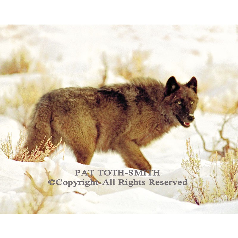 Yellowstone Gray Wolf