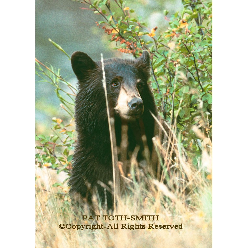 Black Bear Hiding