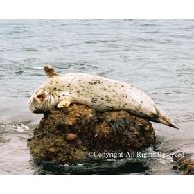 Singing Seal