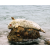 Taken in Point Lobos, Ca, this harbor seal was scratching his back on a rock