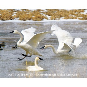 Trumpeter Swan Squabble