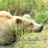 A young Grizzly Bear stretching in Alaska