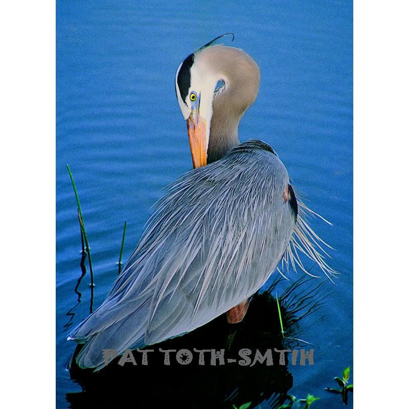 Great Blue Heron Posed (Metal art)