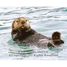 Sea Otter (canvas)