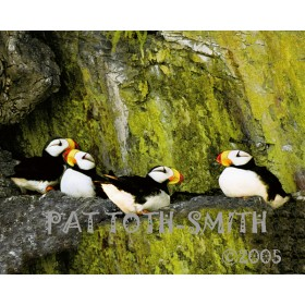 Puffin Rookery (canvas)