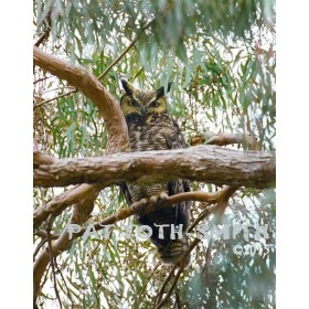 Gray Horned Owl