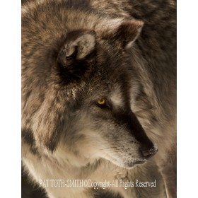 Gray Wolf Close Up  (metal art)