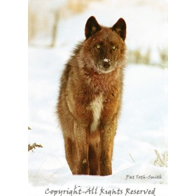 Gray Wolf (canvas)