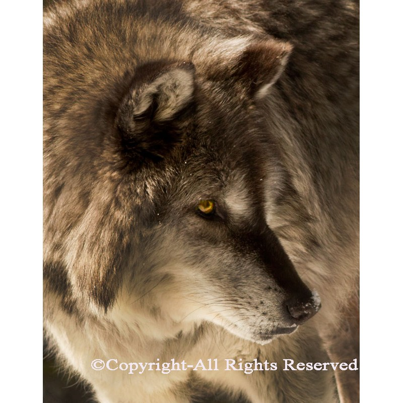 Gray Wolf Close Up (canvas)