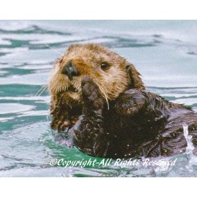 Sea Otter Secret