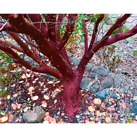 Manzanita Red
