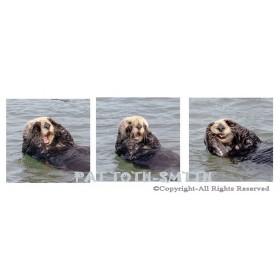 Sea Otter Peekaboo