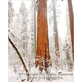 Redwood Snow